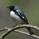 Photo of Black Throated Blue Warbler Male 2015 on NaturalCrooksDotCom