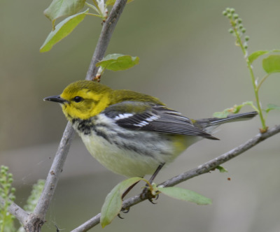 Photo of Black Throated Green Warbler Male 2015 on NaturalCrooksDotCom