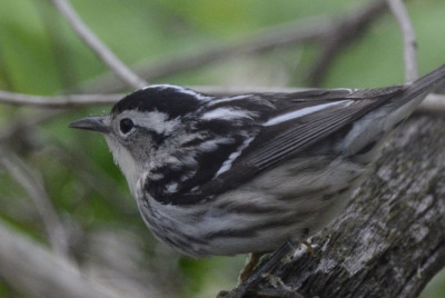 Photo of Black and White Warbler Female 2015 On NaturalCrooksDotCom