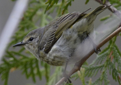 Photo of Cape May Warbler Female 2015 on NaturalCrooksDotCom
