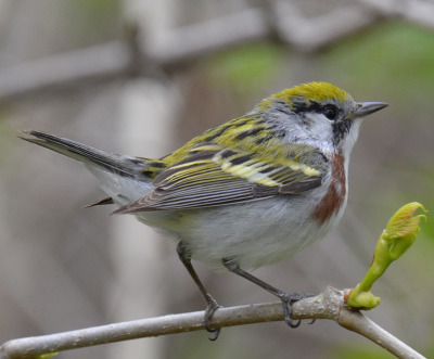 Photo of Chestinut Sided Warbler Male 2015 on NaturalCrooksDotCom