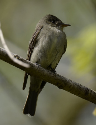 Photo of Eastern Wood Pewee Profile On NaturalCrooksDotCom