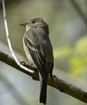Photo of Eastern Wood Pewee from back on NaturalCrooksDotCom