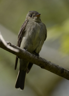 Photo of Eastern Wood Pewee from front on NaturalCrooksDotCom