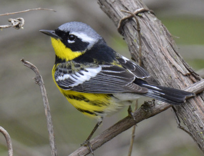 Photo of Magnolia Warbler 2015 on NaturalCrooksDotCom