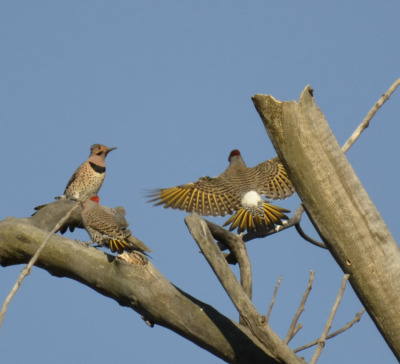 Photo of Northern Flickers Flying Back on NaturalCrooksDotCom