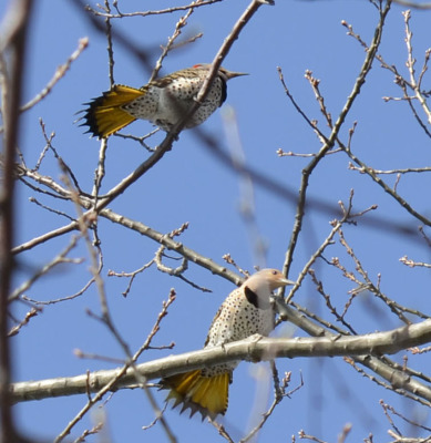 Photo of Northern Flickers Tails on NaturalCrooksDotCom
