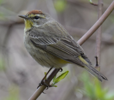 Photo of Palm Warbler 2015 on NaturalCrooksDotCom