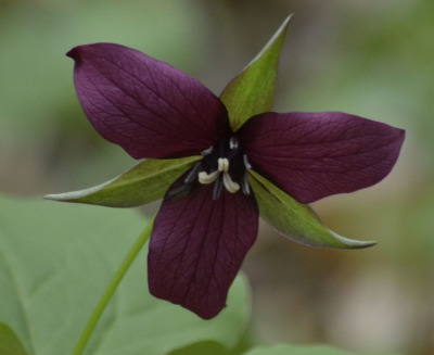 Photo of Red Trillium Lemoines Point On NaturalCrooksDotCom