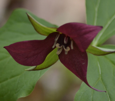 Photo of Red Trillium Red Sepals On NaturalCrooksDotCom