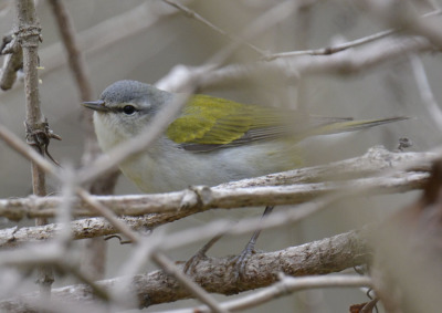 Photo of Tennessee Warbler 2015 on NaturalCrooksDotCom
