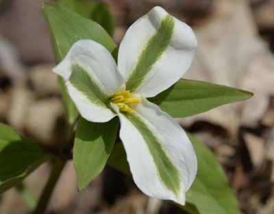 Photo of White Trillium Green Stripes on NaturalCrooksDotCom