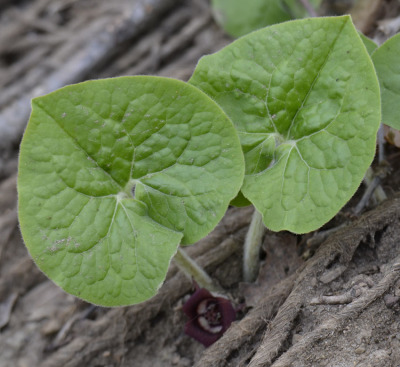 Photo of Wild Ginger Leaves Replanted on NaturalCrooksDotCom