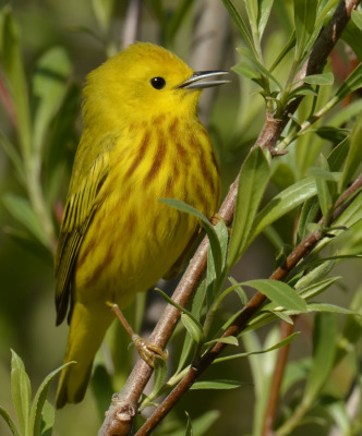 Photo of Yellow Warbler Male Singing 2015 on NaturalCrooksDotCom