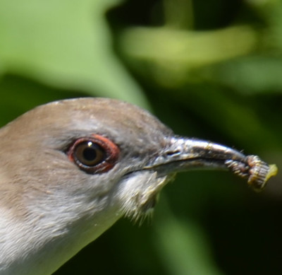 Photo of Black Billed Cuckoo Facial Closeup on NaturalCrooksDotCom