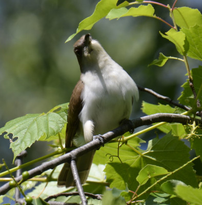 Photo of Black Billed Cuckoo Looking for Prey on NaturalCrooksDotCom