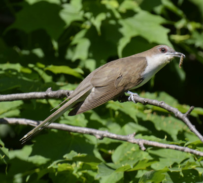 Photo of Black Billed Cuckoo Posing on NaturalCrooksDotCom