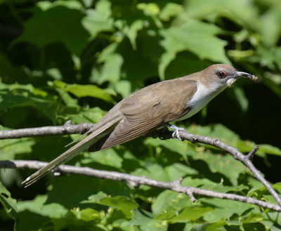 Photo of Black Billed Cuckoo Snacking on NaturalCrooksDotCom