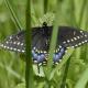 Photo of Black Swallowtail Butterfly Female on NaturalCrooksDotCom