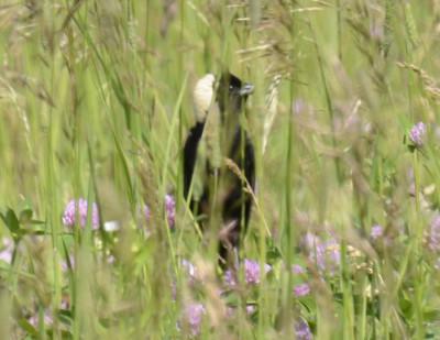 Photo of Bobolink Male in Hayfield on NaturalCrooksDotCom