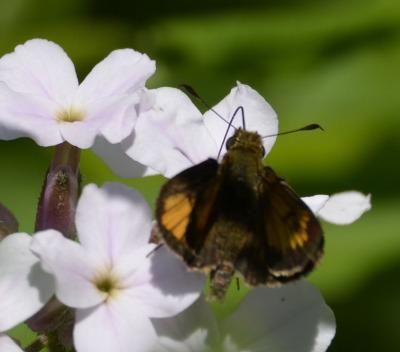 Photo of Butterfly Black With Orange Spots on NaturalCrooksDotCom