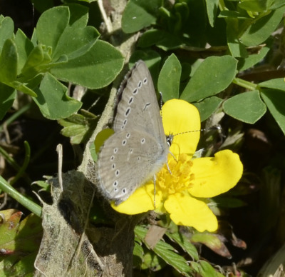 Photo of Butterfly Blue Side View on Yellow Flower on NaturalCrooksDotCom