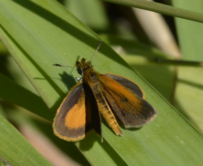 Photo of Butterfly Orange With Dark Margins on NaturalCrooksDotCom