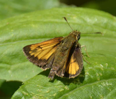 Photo of Butterfly Orange With Veins and Dark Edges on NaturalCrooksDotCom