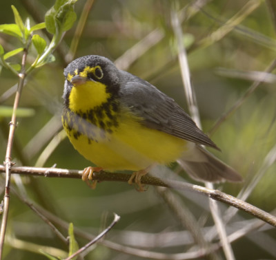 Photo of Canada Warbler Cheerful on NaturalCrooksDotCom