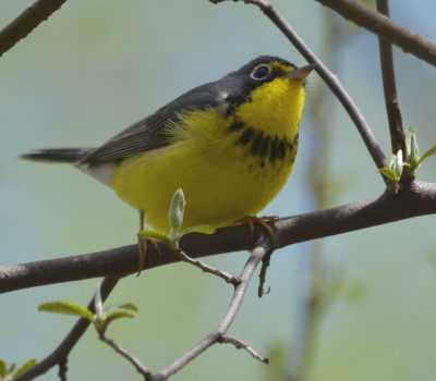 Photo of Canada Warbler Looking Up on NaturalCrooksDotCom