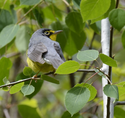 Photo of Canada Warbler Over Shoulder on NaturalCrooksDotCom