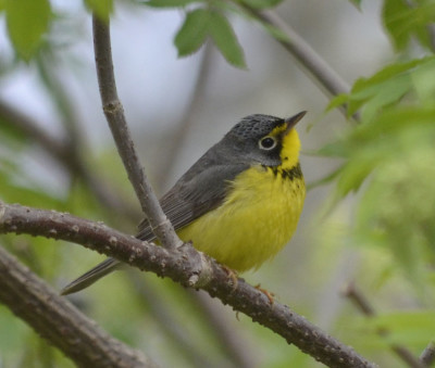 Photo of Canada Warbler Perched on NaturalCrooksDotCom