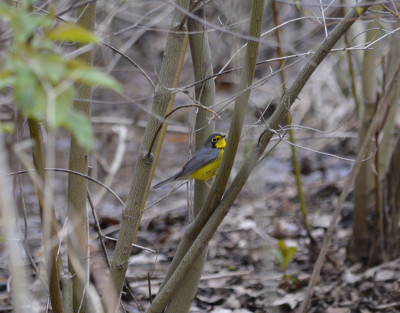 Photo of Canada Warbler of Spring on NaturalCrooksDotCom
