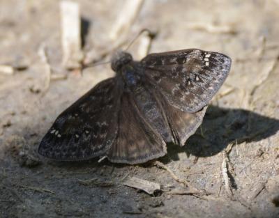 Photo of Duskywing Type on NaturalCrooksDotCom