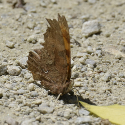 Photo of Eastern Comma on Grit Path on NaturalCrooksDotCom