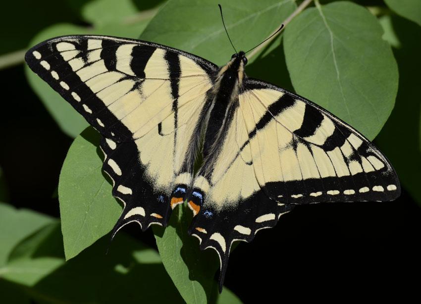 Photo of Eastern Tiger Swallowtail on NaturalCrooksDotCom