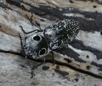 Photo of Eyed Click Beetle Head on on NaturalCrooksDotCom