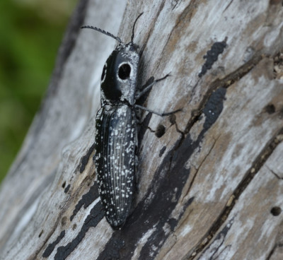 Photo of Eyed Click Beetle from Side on NaturalCrooksDotCom