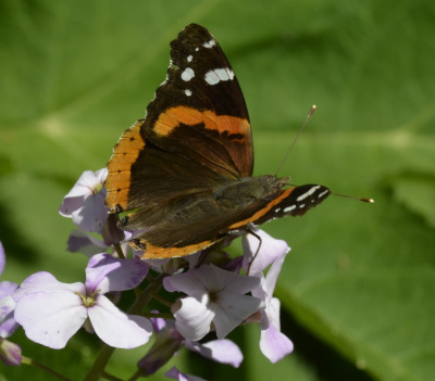 Photo of Red Admiral on Dames Rocket June 2015 on NaturalCrooksDotCom