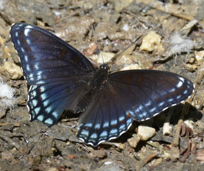 Photo of Red Spotted Purple June 2015 on NaturalCrooksDotCom
