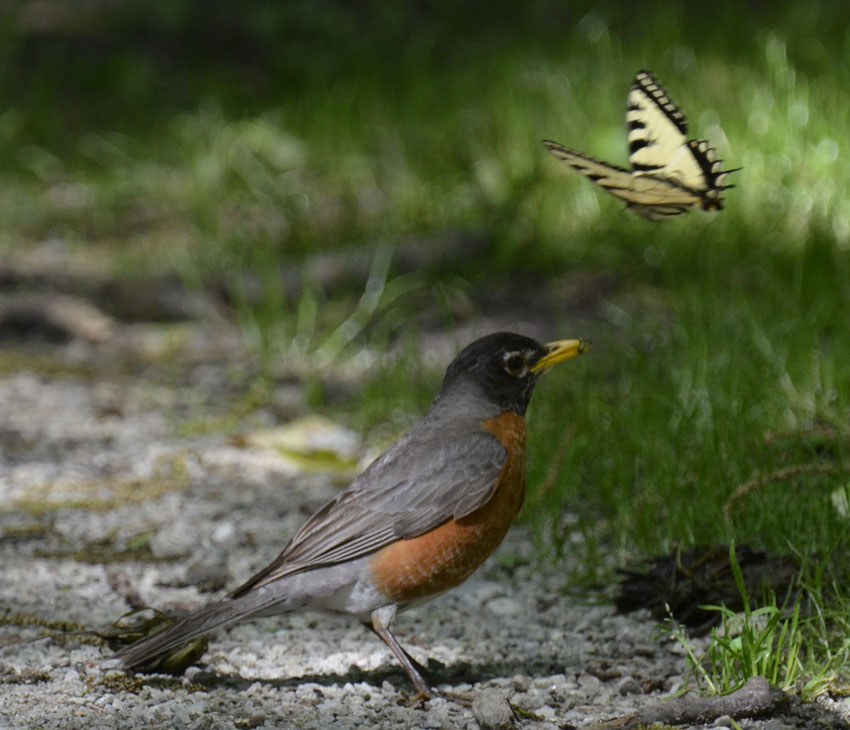 Photo of Swallowtail Vs Robin D on NaturalCrooksDotCom