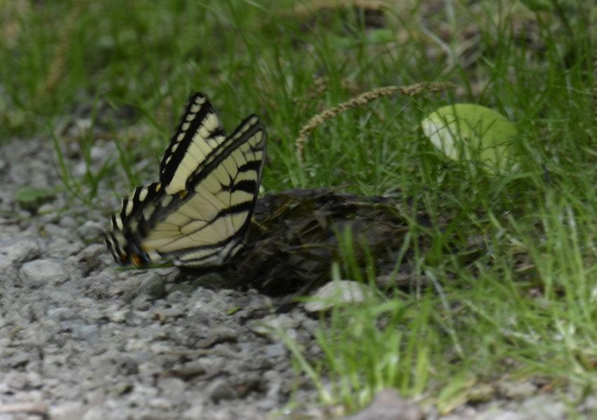 Photo of Swallowtail Vs Robin F on NaturalCrooksDotCom