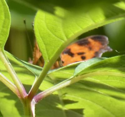 Photo of Unknown Orange Butterfly on NaturalCrooksDotCom