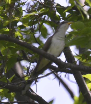 Photo of Yellow Billed Cuckoo Distant Brighter on NaturalCrooksDotCom