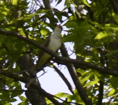 Photo of Yellow Billed Cuckoo Right There on NaturalCrooksDotCom