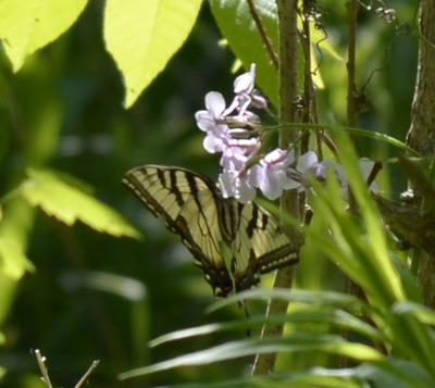 Photo of Yellow Coloured Swallowtail in Distance on NaturalCrooksDotCom