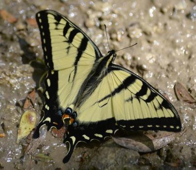 Photo of Yellow Coloured Swallowtail on NaturalCrooksDotCom