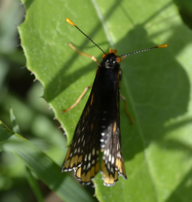Photo of Baltimore Checkerspot Partially Closed Wings On NaturalCrooksDotCom