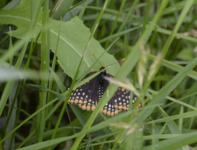 Photo of Baltimore Checkerspot in Grasses on NaturalCrooksDotCom