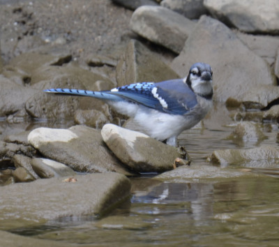 Photo of Blue Jay Bath Credit River on NaturalCrooksDotCom